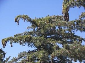 pinecones on Keller Peak Road 2014