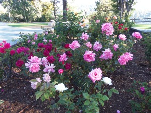 Some of the magnificent roses in the hospital's beautiful garden overlooking Lake Arrowhead