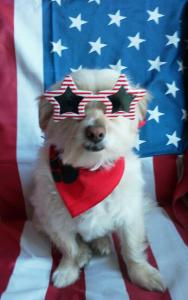 Every year Westin loves to dress up to celebrate July 4. I know he'll have fun (he always does) so, Go, Westin! By the way,his wonderful owners live right up the street by me in Running Springs.